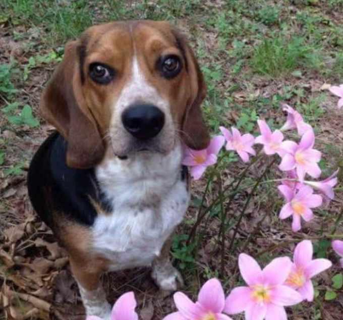 Beagle Mix For Adoption