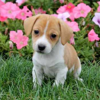 Beagle Mix Puppies For Sale In Ohio