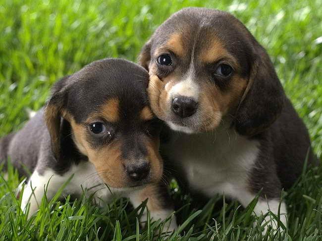 Beagle Mix Rescue