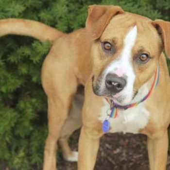 Beagle Pitbull Mix Puppies For Sale