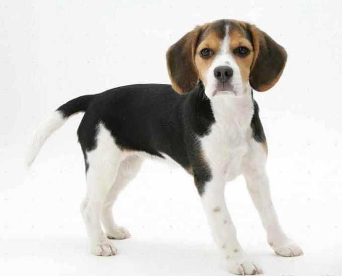 Beagle Pocket
