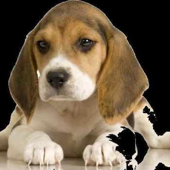 Beagle Potty Training