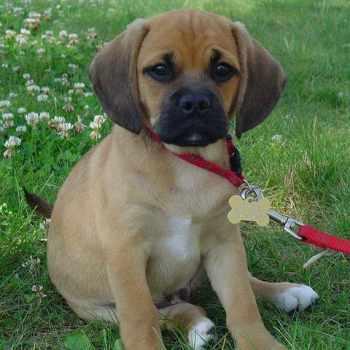 Beagle Pug Mix Puppy