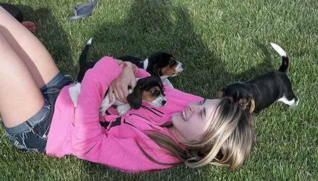Beagle Puppies Columbus Ohio