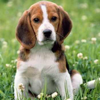 Beagle Puppies For Sale In Dallas