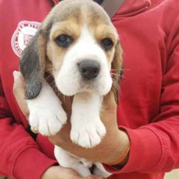 Beagle Puppies For Sale In Md