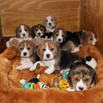 Beagle Puppies For Sale In Nj
