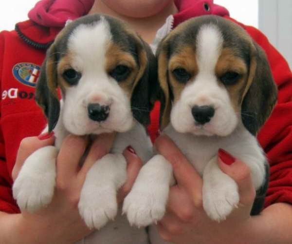 Beagle Puppies For Sale In Tn