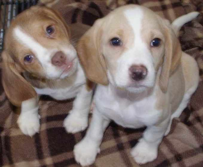 Beagle Puppies For Sale Michigan
