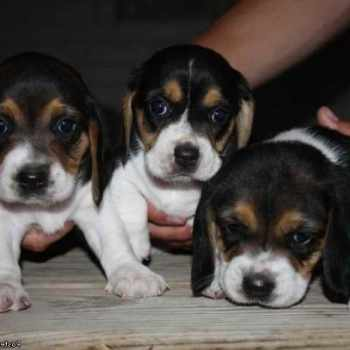 Beagle Puppies For Sale Mn