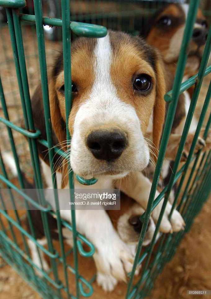 Beagle Puppies For Sale Orange County