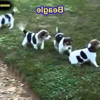 Beagle Puppies For Sale Portland Oregon