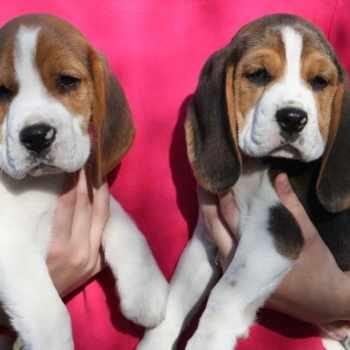 Beagle Puppies Georgia