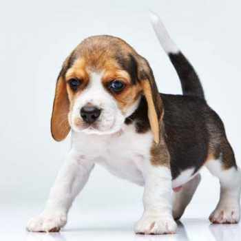 Beagle Puppies Information