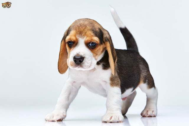 Beagle Puppies Information