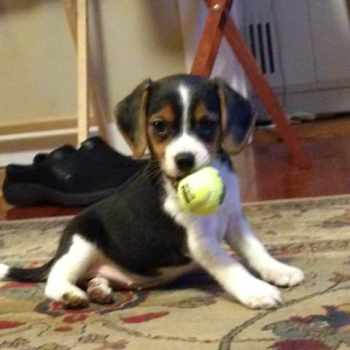 Beagle Puppies Jacksonville Fl