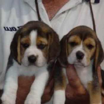 Beagle Puppies Los Angeles