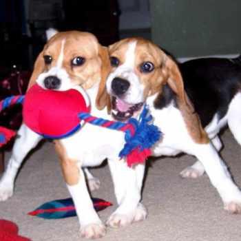 Beagle Puppies Massachusetts