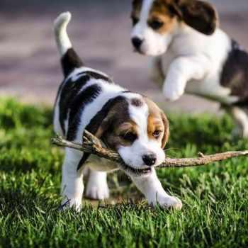 Beagle Puppies Mn