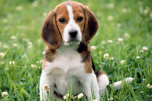 Beagle Puppies Near Me