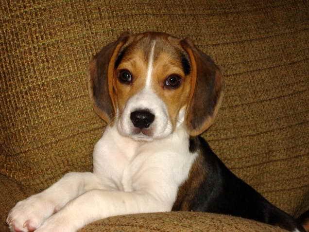 Beagle Puppies Ohio