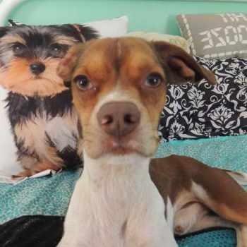 Beagle Puppies Richmond Va