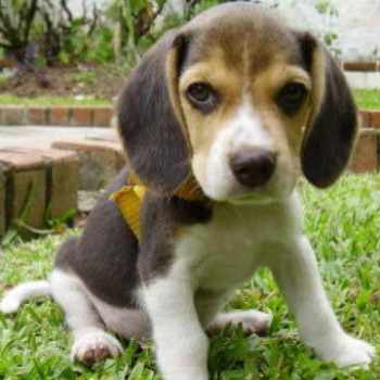 Beagle Puppies San Diego