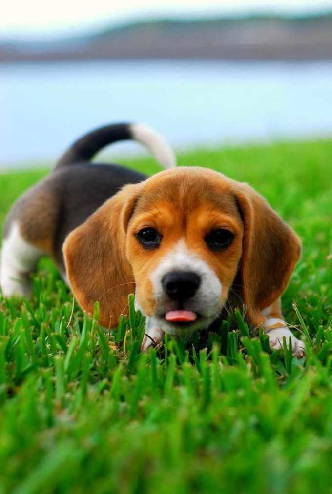 Beagle Puppies Texas