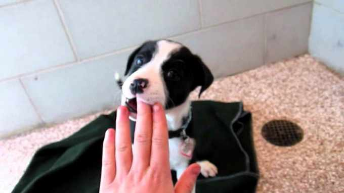 Beagle Puppies Youtube