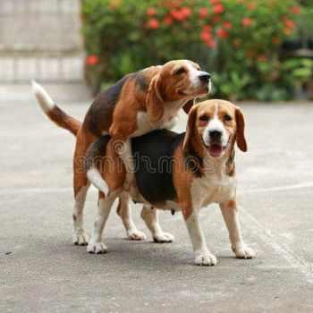 Beagle Purebred