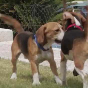 Beagle Rescue Las Vegas