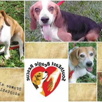 Beagle Rescue Michigan