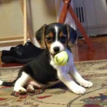 Beagle Rescue Minnesota