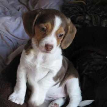 Beagle Rescue Ny
