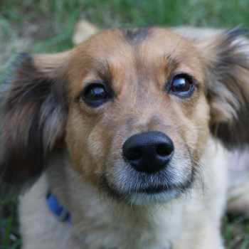 Beagle Sheltie Mix