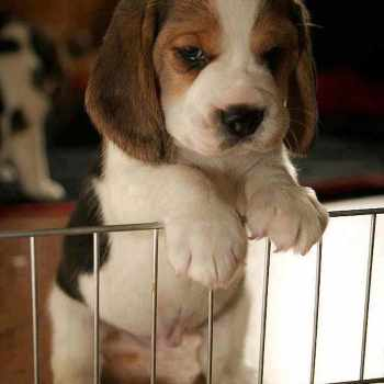 Beagle Temperament Even Tempered