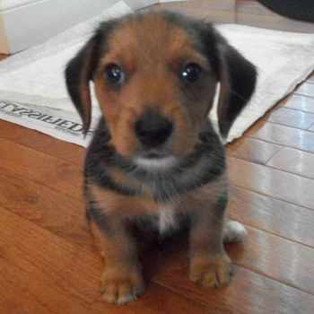 Beagle Yorkie Mix For Sale