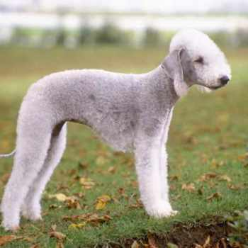 Bedlington Terrier For Adoption