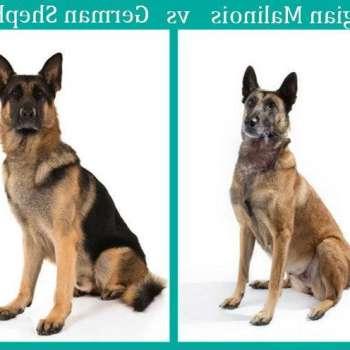 Belgian Malinois Vs German Shepherd Intelligence