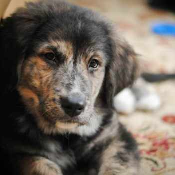 Bernese Mountain Dog Golden Retriever Mix Puppies For Sale