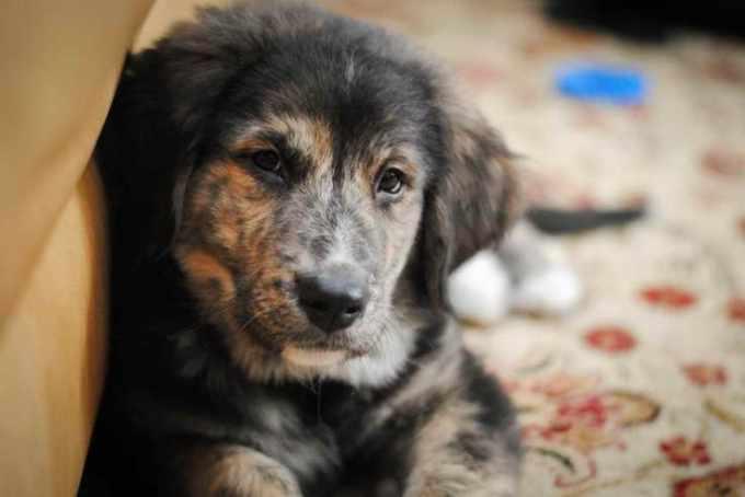 Bernese Mountain Dog Golden Retriever Mix Puppies For Sale