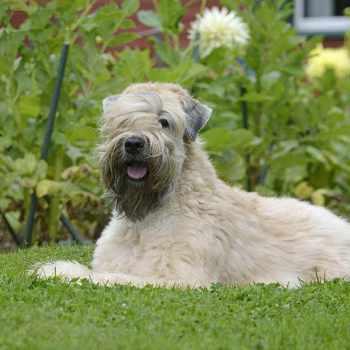 Best Brush For Wheaten Terrier