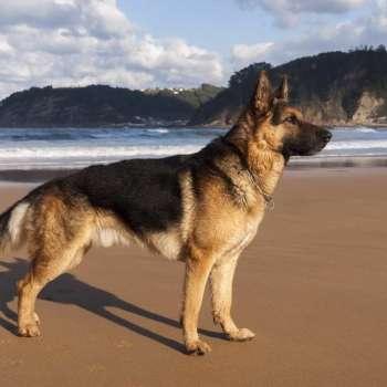 Best Diet For German Shepherd