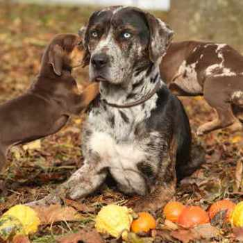 Best Dog Food For Catahoula