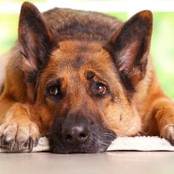Best Dog Food For Senior German Shepherd
