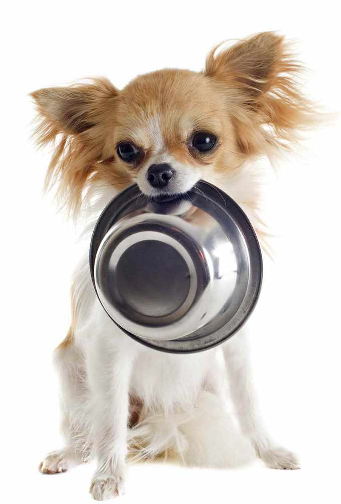 Best Dog Food For Teacup Chihuahua