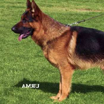 Best German Shepherd Breed