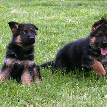 Best German Shepherd Puppies