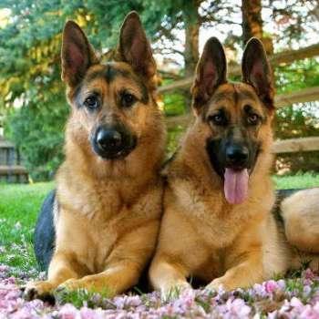Best German Shepherd