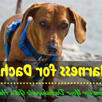 Best Harness For Miniature Dachshund